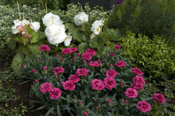 Grabbepflanzung; Randbepflanzung, nelken
