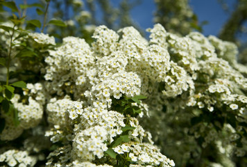 the Bush white flowers