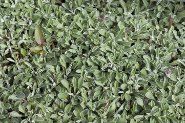 katzenpfoetchen, Antennaria dioica,