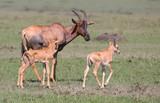 Antilope mit Kindern