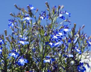 Lobelia, erinus, laura Blue Eyes,