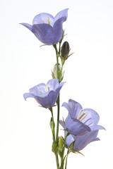 Pfirsichblaettrige; Glockenblume; Campanula persicifolia;