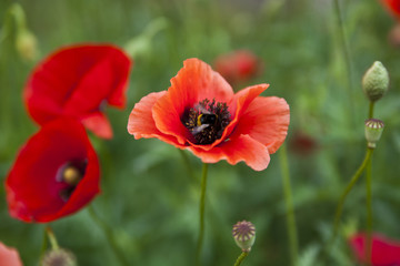 flowers of poppy