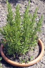 Rosmarin; Rosmarinus Officinalis;