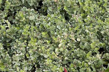 Spindelstrauch, Euonymus, fortunei, Emeralds, gariety,