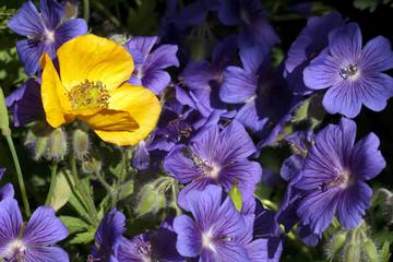 Storchschnabel; Geranium; magnificum;