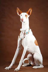 Ibizan Hound dog