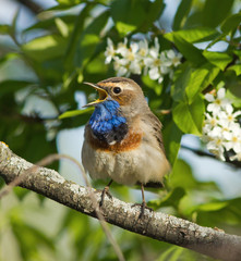 Bluethroat on the bird cherry tree