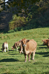 Cows grazing on a pasture