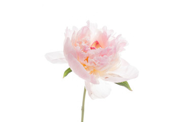 peony on the white