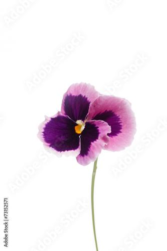 Foto op Canvas Pansies viola flower