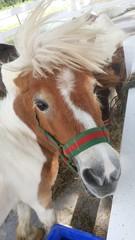 Pygmy pony,small Horse