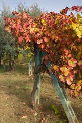Vigneto umbro in autunno