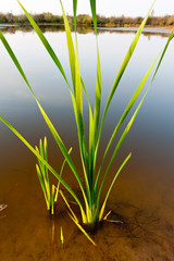 Cane plant in lake