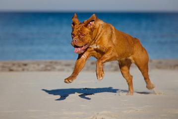 happy french mastiff dog running on a beach