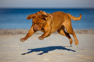 funny dogue de bordeaux in a jump