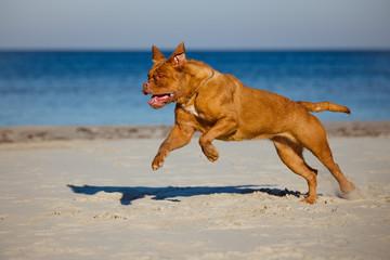 dogue de bordeaux running on the beach