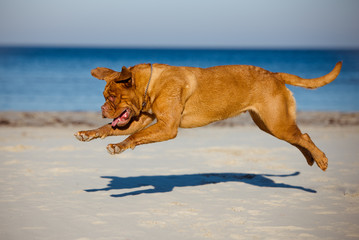 active dogue de bordeaux dog in a jump