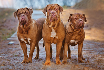 three dogue de bordeaux dogs together