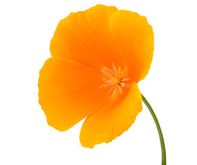 Yellow Wildflower with orange center Isolated