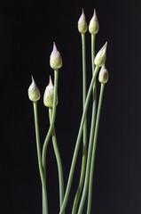 Zierlauchknospen, Allium, Knospe,