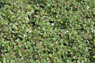 Zwergmispel, Cotoneaster, dammeri, Frieders Evergreen,
