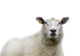 Sheep isolated!!