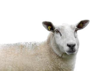 Sheep isolated.