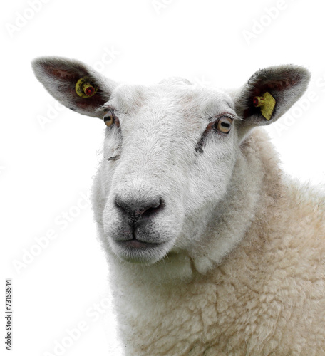 Canvas Schapen Sheep isolated!