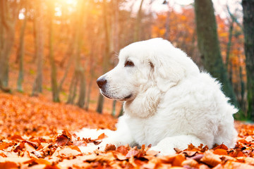 Cute white puppy dog lying in leaves in autumn, fall forest.