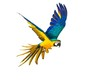 canvas print picture - Colourful flying parrot isolated on white