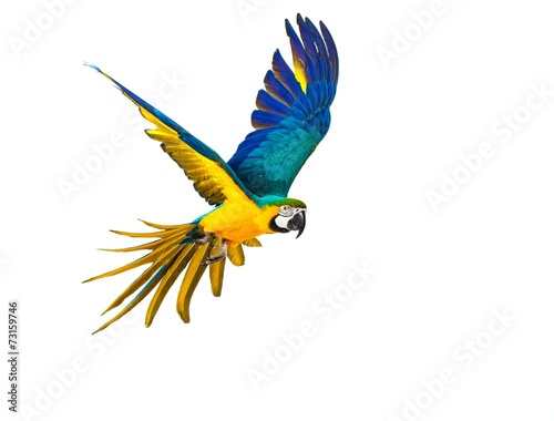 canvas print picture Colourful flying parrot isolated on white