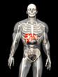 canvas print picture - Menschliche Anatomie - Leber