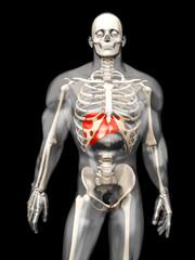 Menschliche Anatomie - Leber