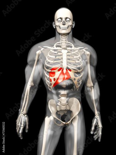 canvas print picture Menschliche Anatomie - Leber