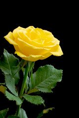 Beautiful yellow rose on black background