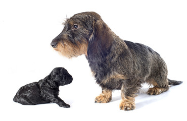puppy poodle and dachshund