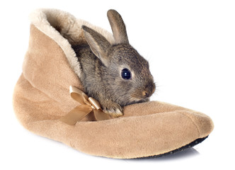 European rabbit in shoes
