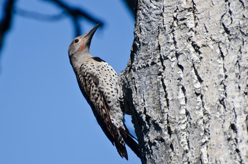 Northern Flicker Clinging To Side of Tree