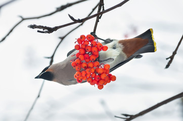 Waxwing on a branch of rowan