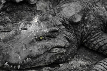 Closeup portrait of crocodile