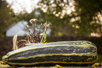 outdoor still-life with a big zucchini in autumn