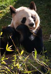 Big panda eating bamboo
