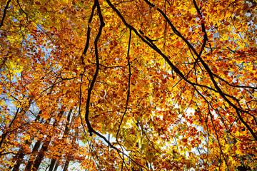 autumn foliage of a beech tree shot against the sun