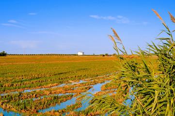 paddy field in Delta del Ebro, in Catalonia, Spain