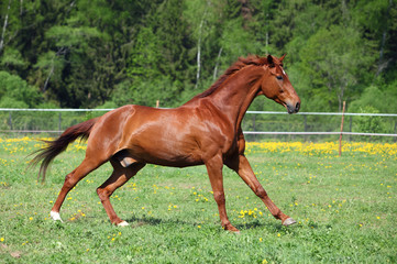 Thoroughbred racehorse runs on a green summer meadow