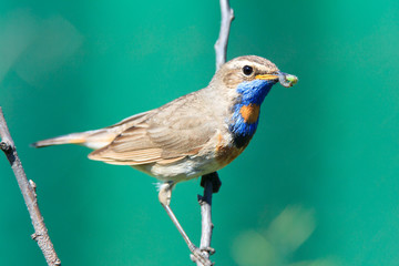 Luscinia svecica, Bluethroat.