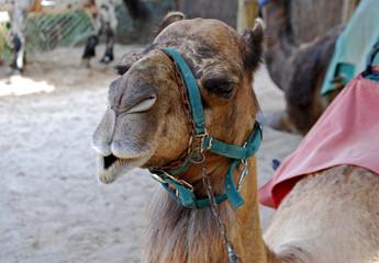 Dromedario, camello, animal, fauna, primer plano