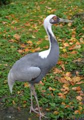 The white-naped  crane (Grus vipio Pallas) costs in a grass
