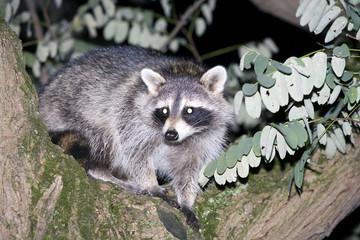 Raccoon hiding in a tree
